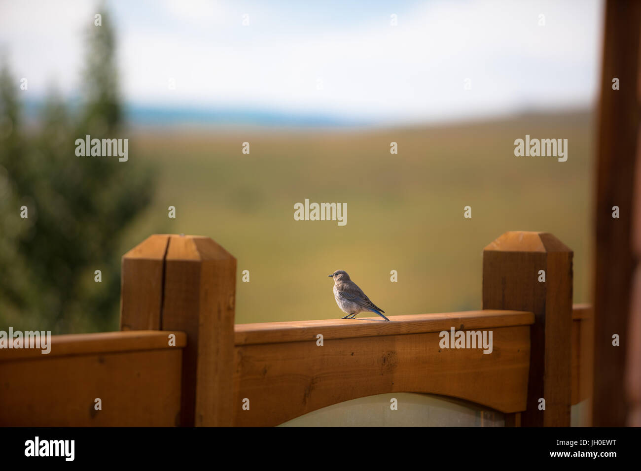 A happy little bluebird rests his wings as he watches the sun set in ...
