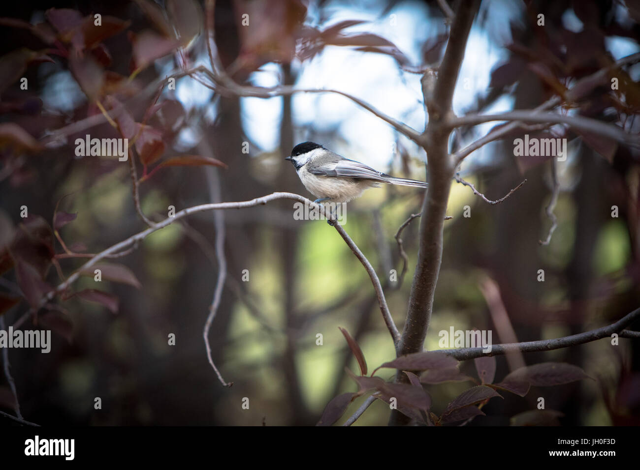 A happy little chickadee bounces from branch to branch in the early evening. - Stock Image