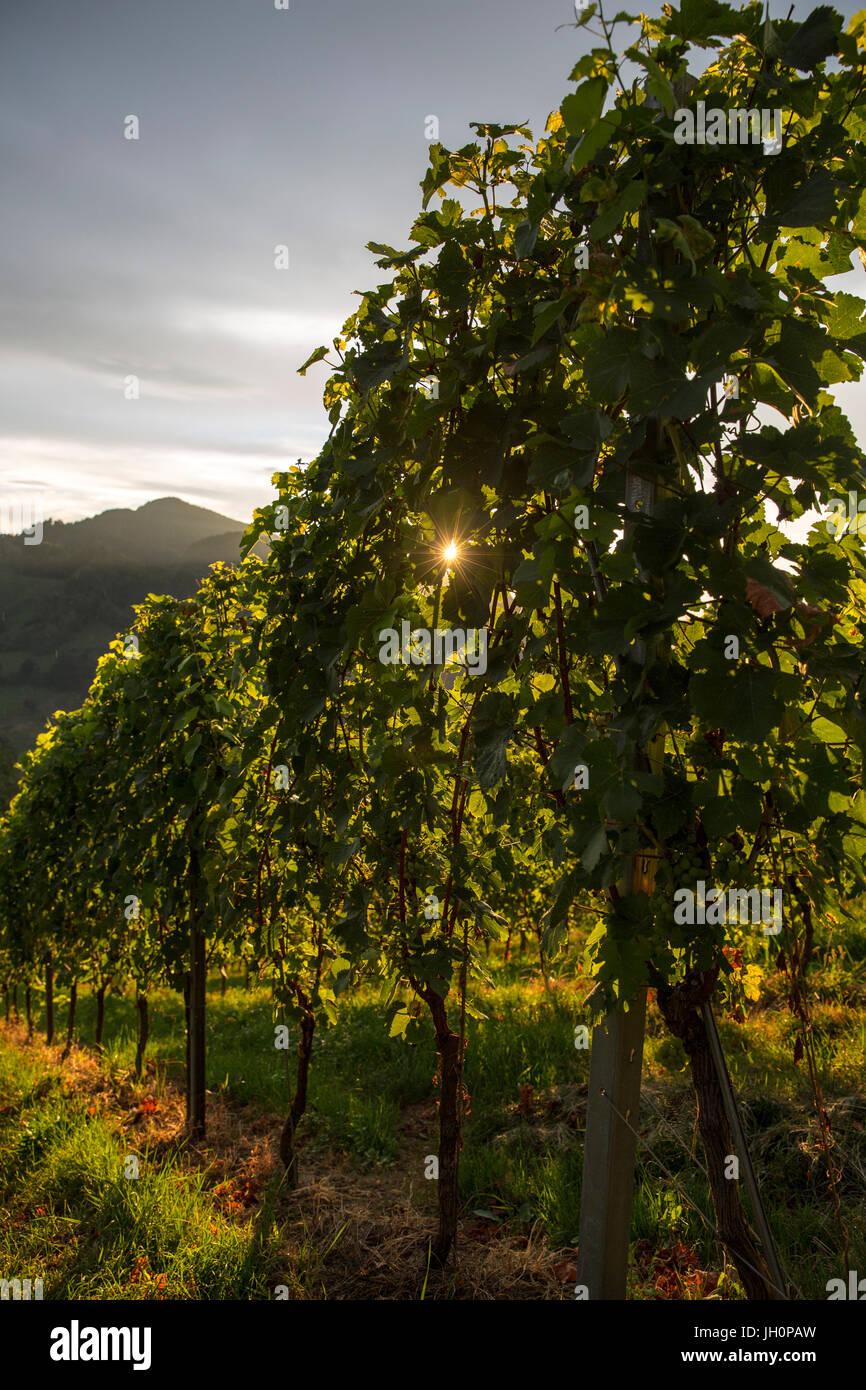 Weinberge in der bekannten südsteirischen Weinstraße, Steiermark, Leutschach, Österreich - Stock Image