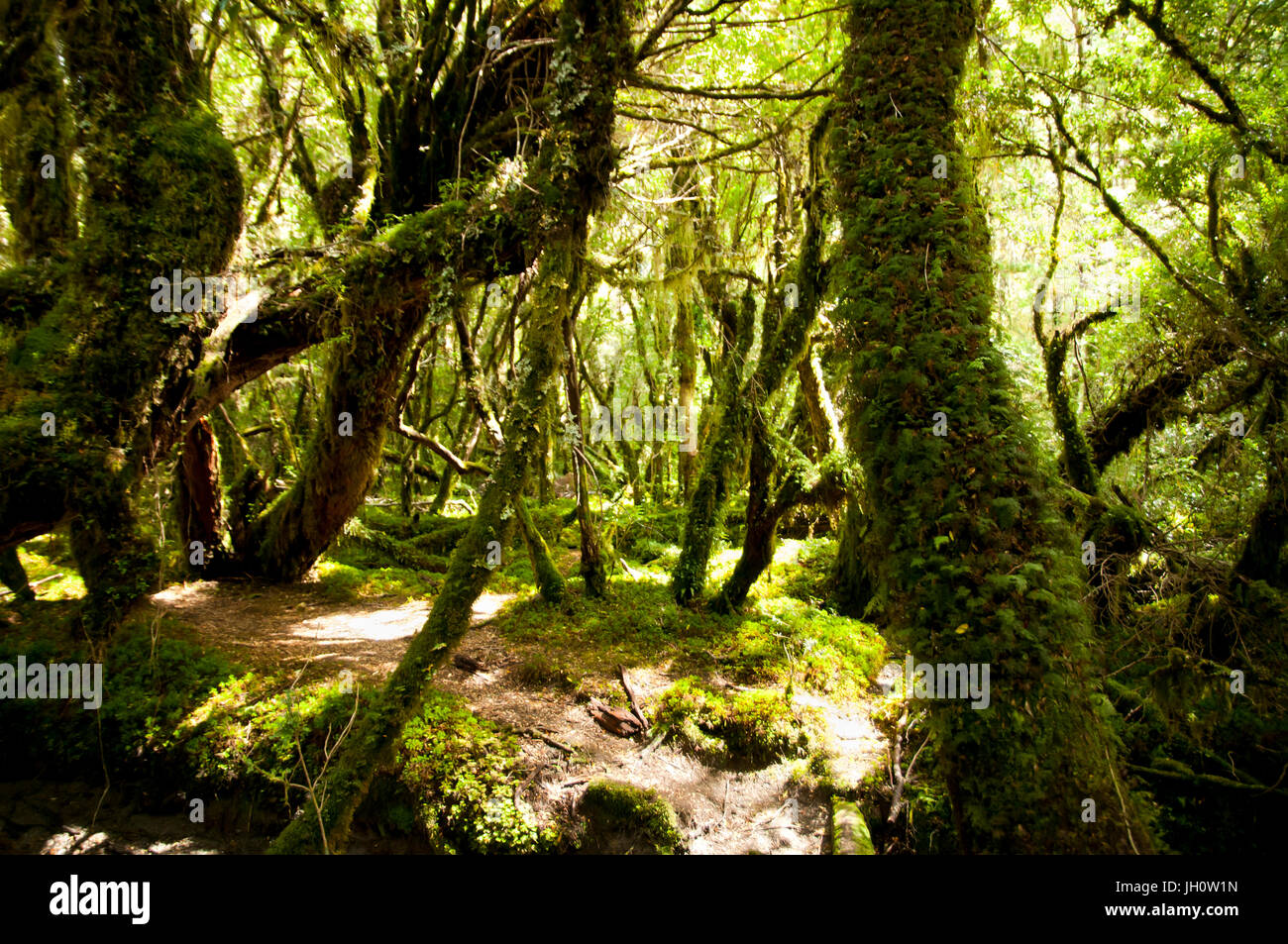 Enchanted Forest - Queulat National Park - Chile - Stock Image