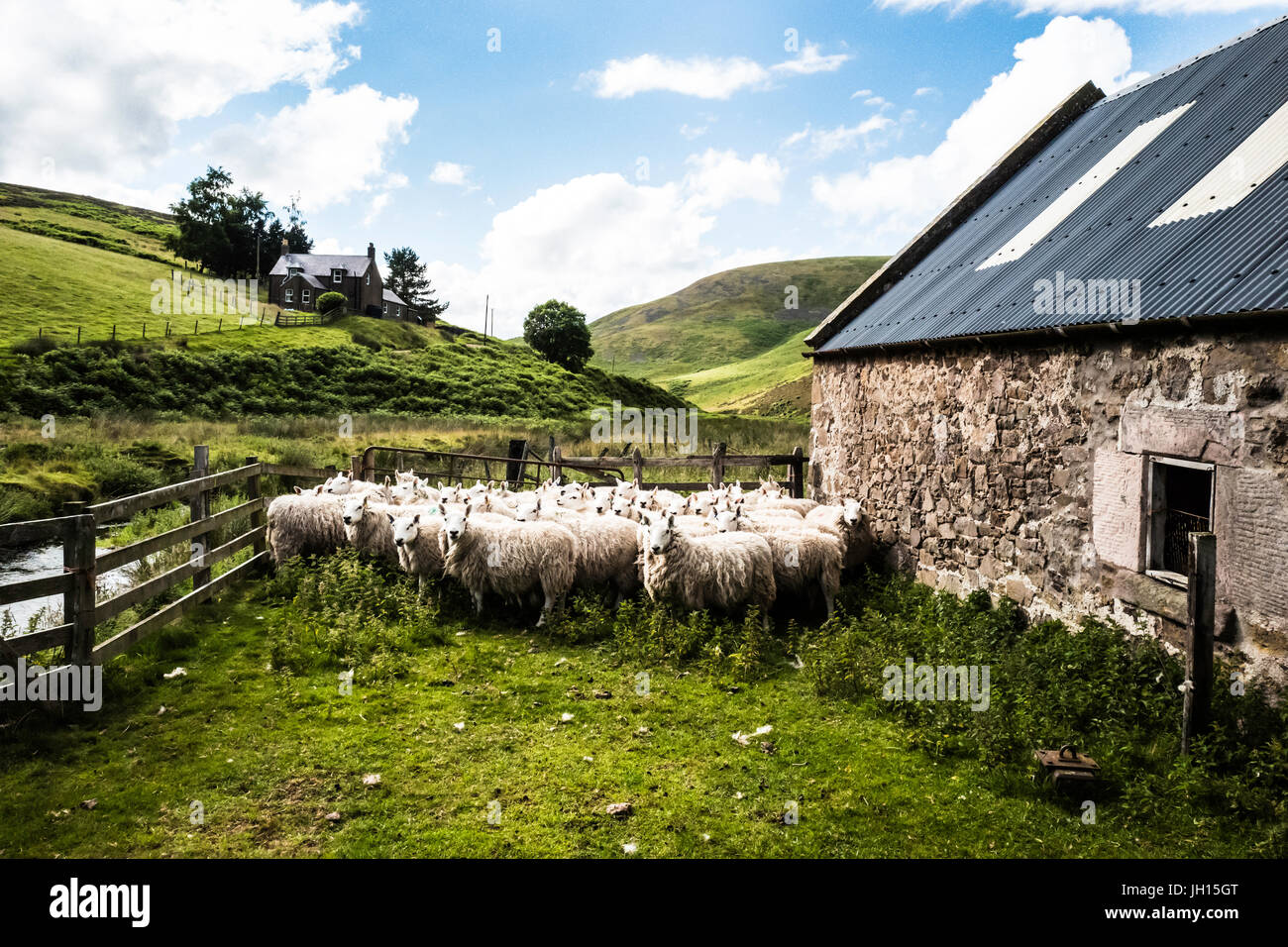 Heatherhope, Hownam, Kelso, Scottish Borders, UK. 11th July 2017. The Weir family clip their flock of Cheviot sheep - Stock Image