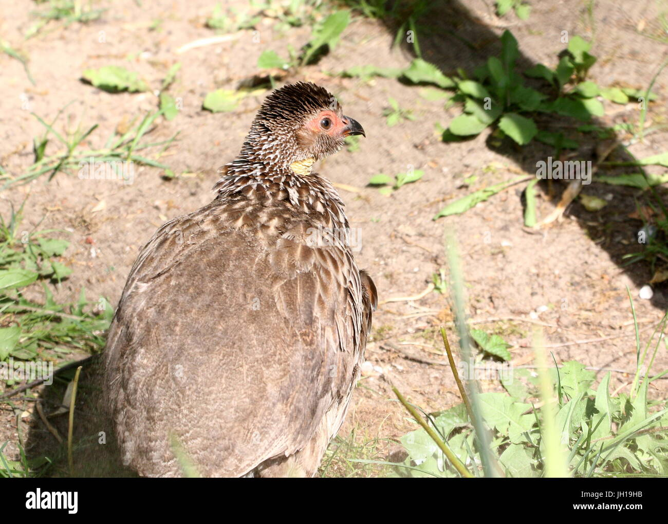 East African Yellow-necked spurfowl (Pternistis leucoscepus,  Francolinus leucoscepus). - Stock Image