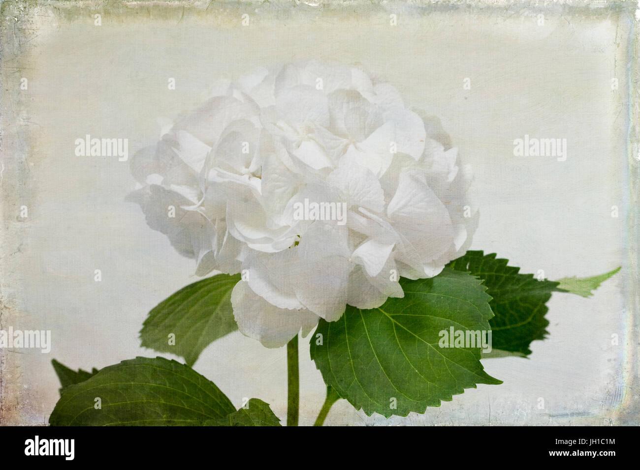 Close up study of a white mop head Hydrangea. - Stock Image