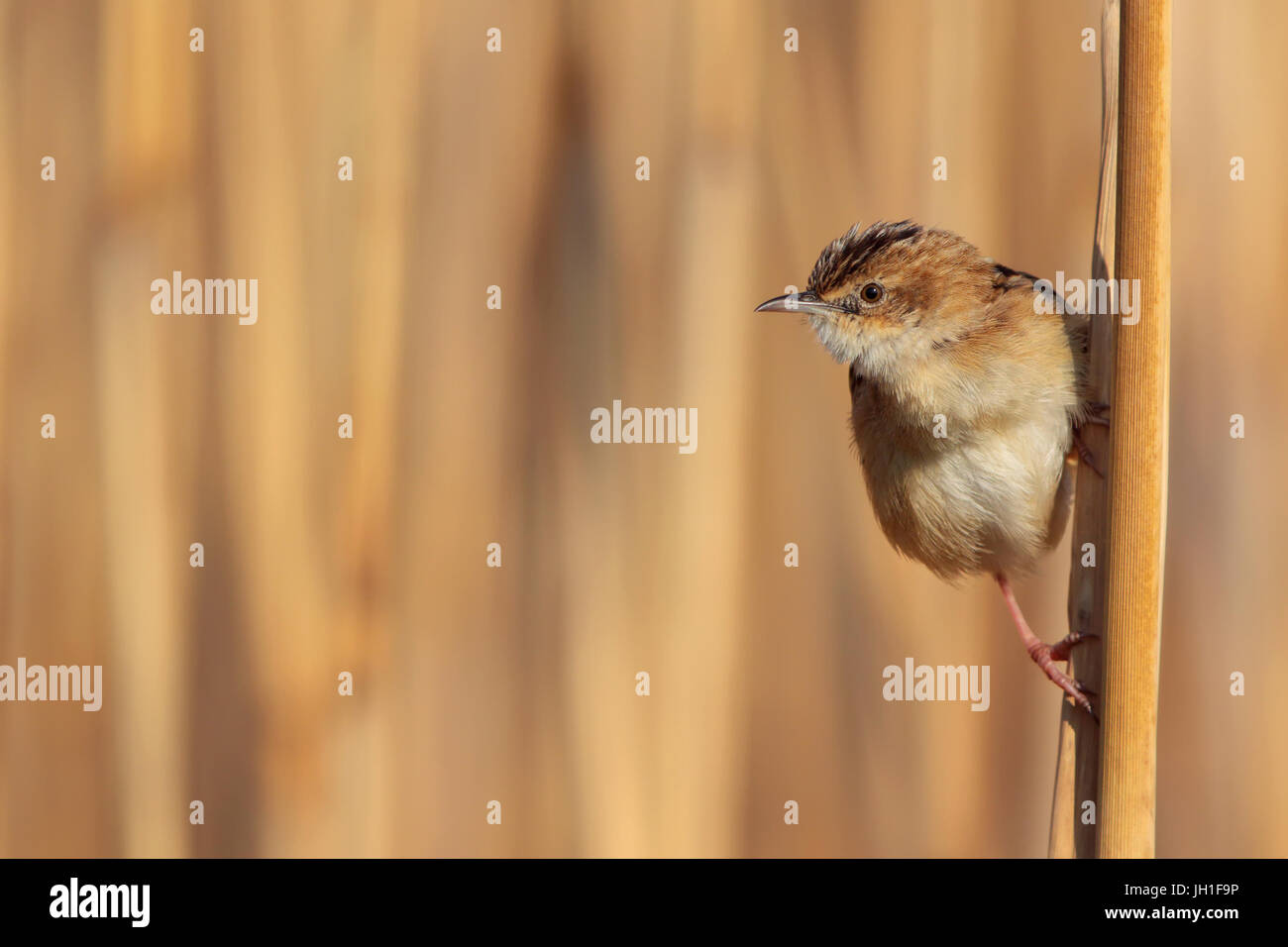 A Zitting cisticola (Cisticola juncidis) come out of the reeds and controls his territory.He's very territorial Stock Photo