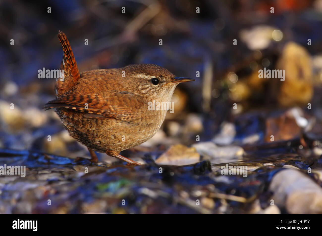 An eurasian wren (Troglodytes troglodytes) come in a river to drink the fresh water. - Stock Image