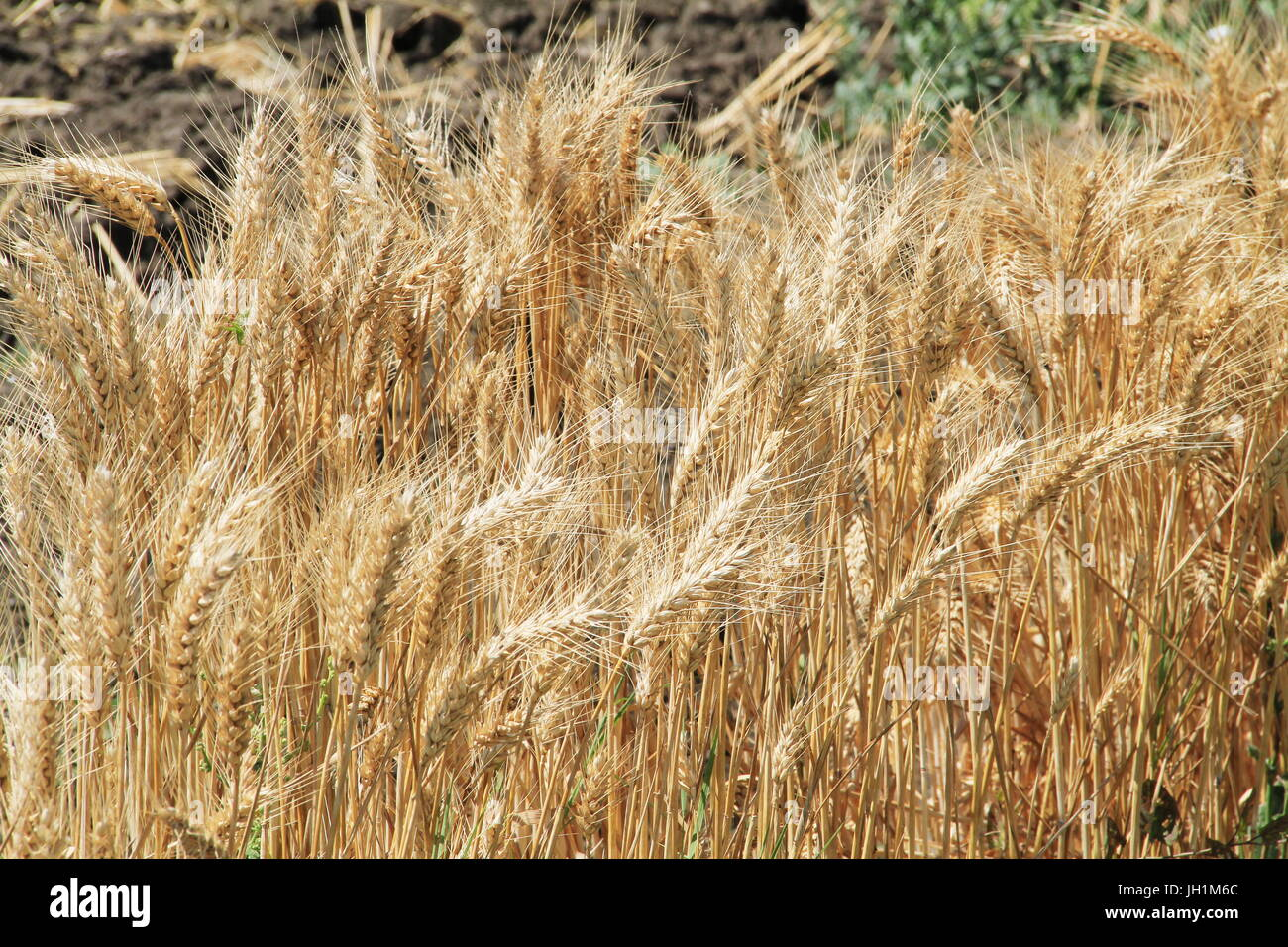 A picture or image showing a ready to harvest long eared wheat. - Stock Image