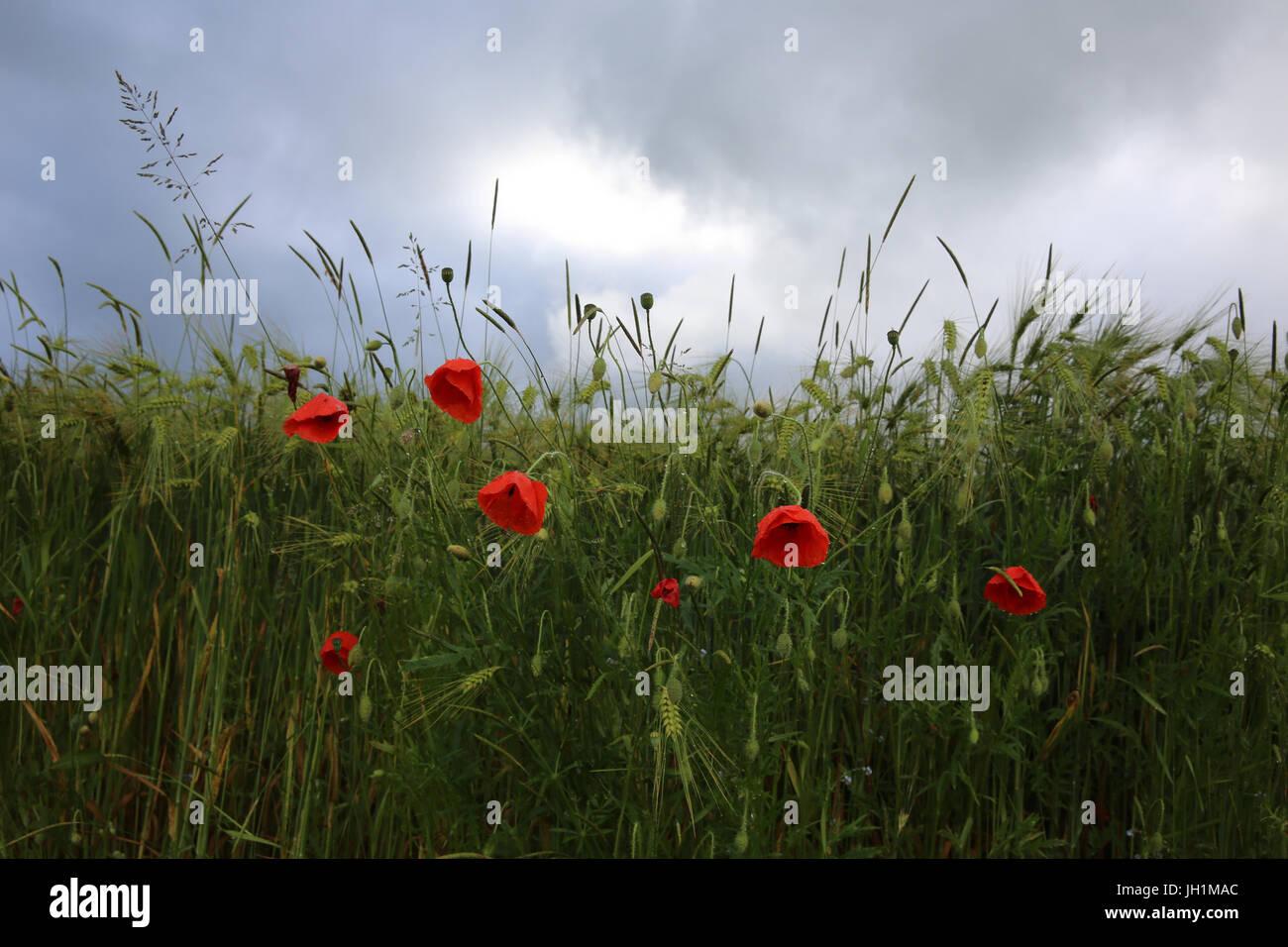 Poppies alongside a wheat field. France. - Stock Image