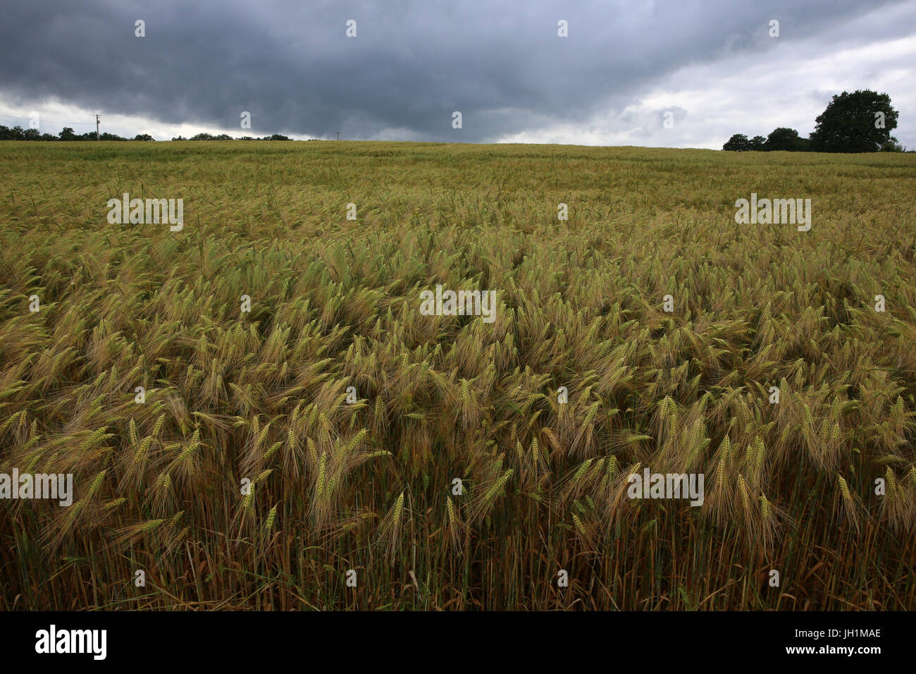 Wheat field. France. - Stock Image