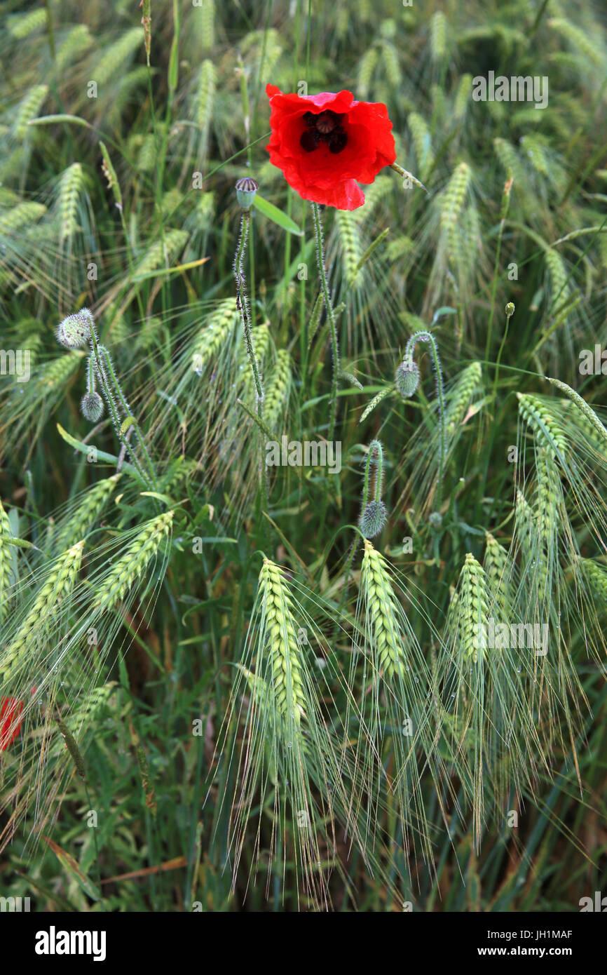 Poppy in a wheat field. France. - Stock Image
