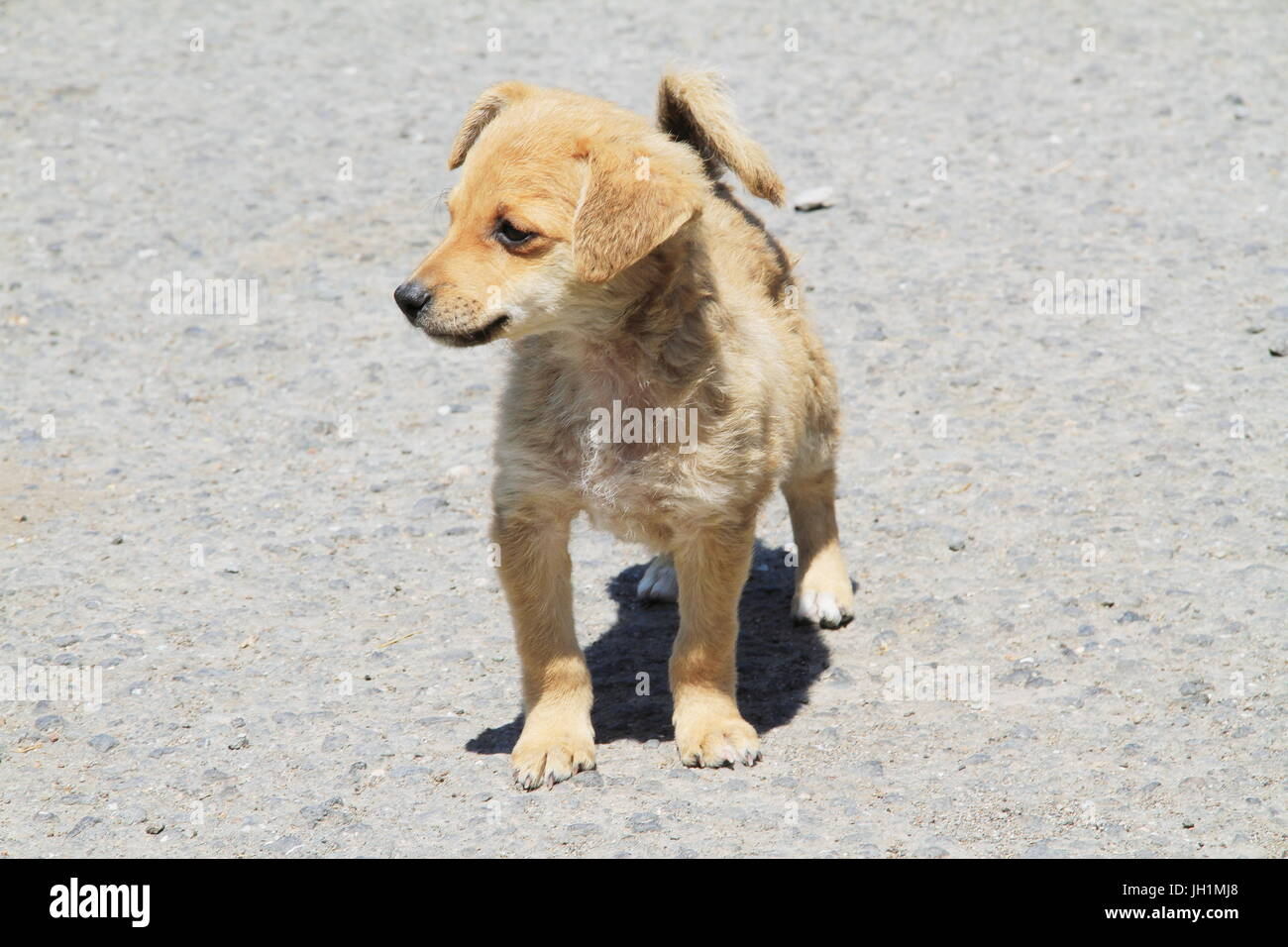 A picture or image showing a small brown mongrel puppy standing on a road surface. - Stock Image