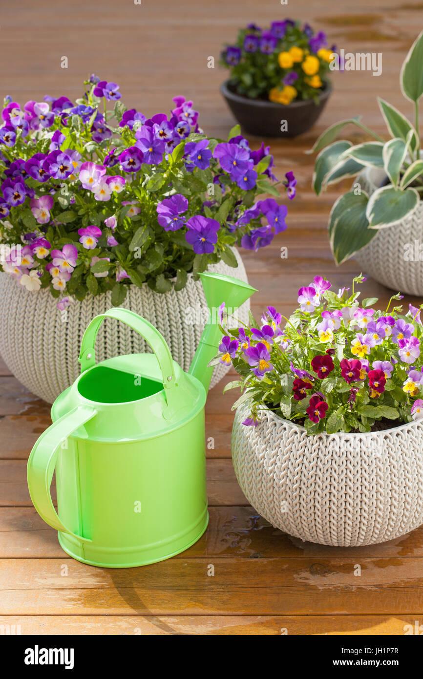 Beautiful pansy summer flowers in flowerpots in garden watering can beautiful pansy summer flowers in flowerpots in garden watering can izmirmasajfo