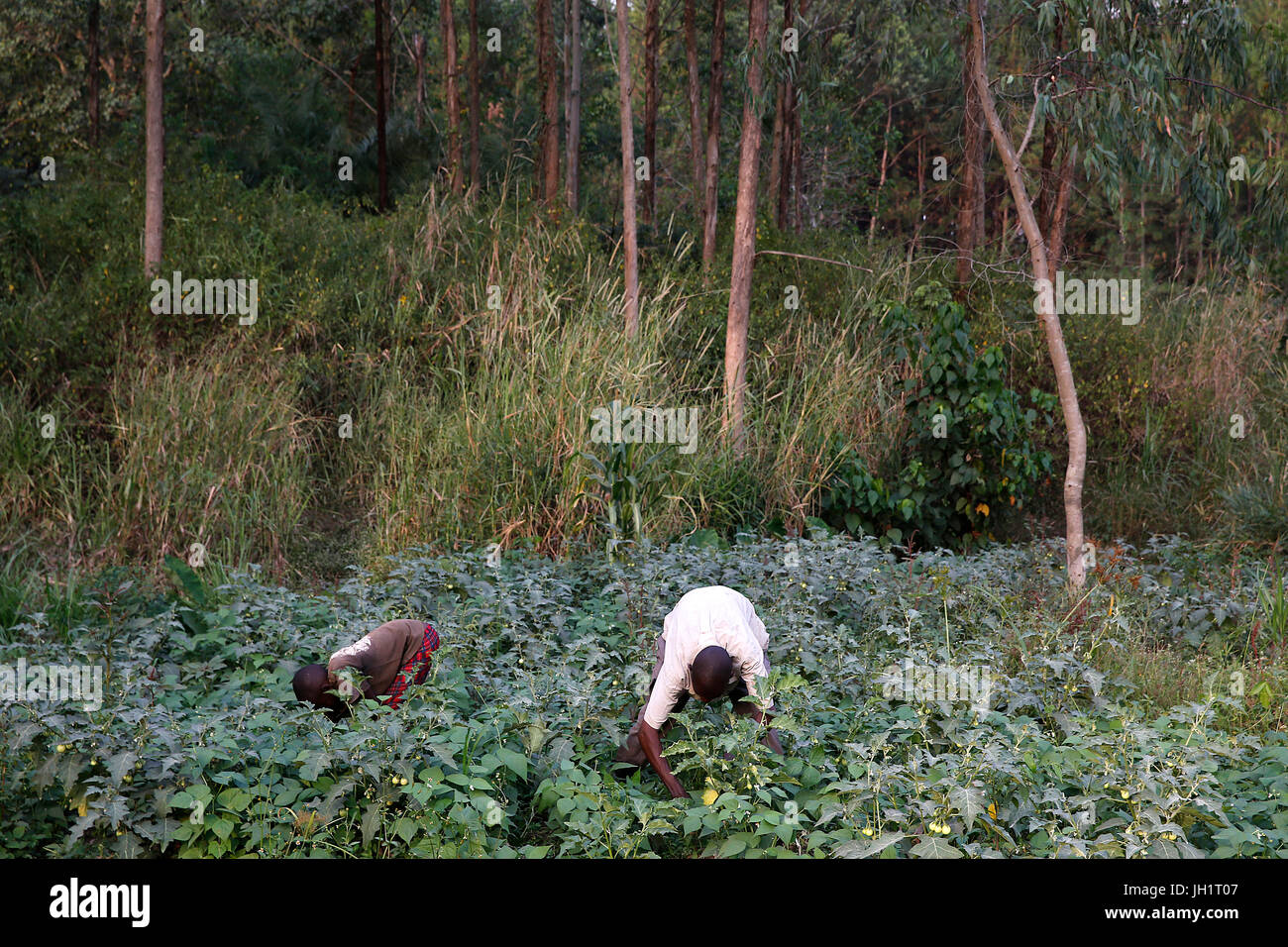Farmer Apollo Byarunga received 2 loans from ENCOT microfinance. He is working with his son. Uganda. - Stock Image
