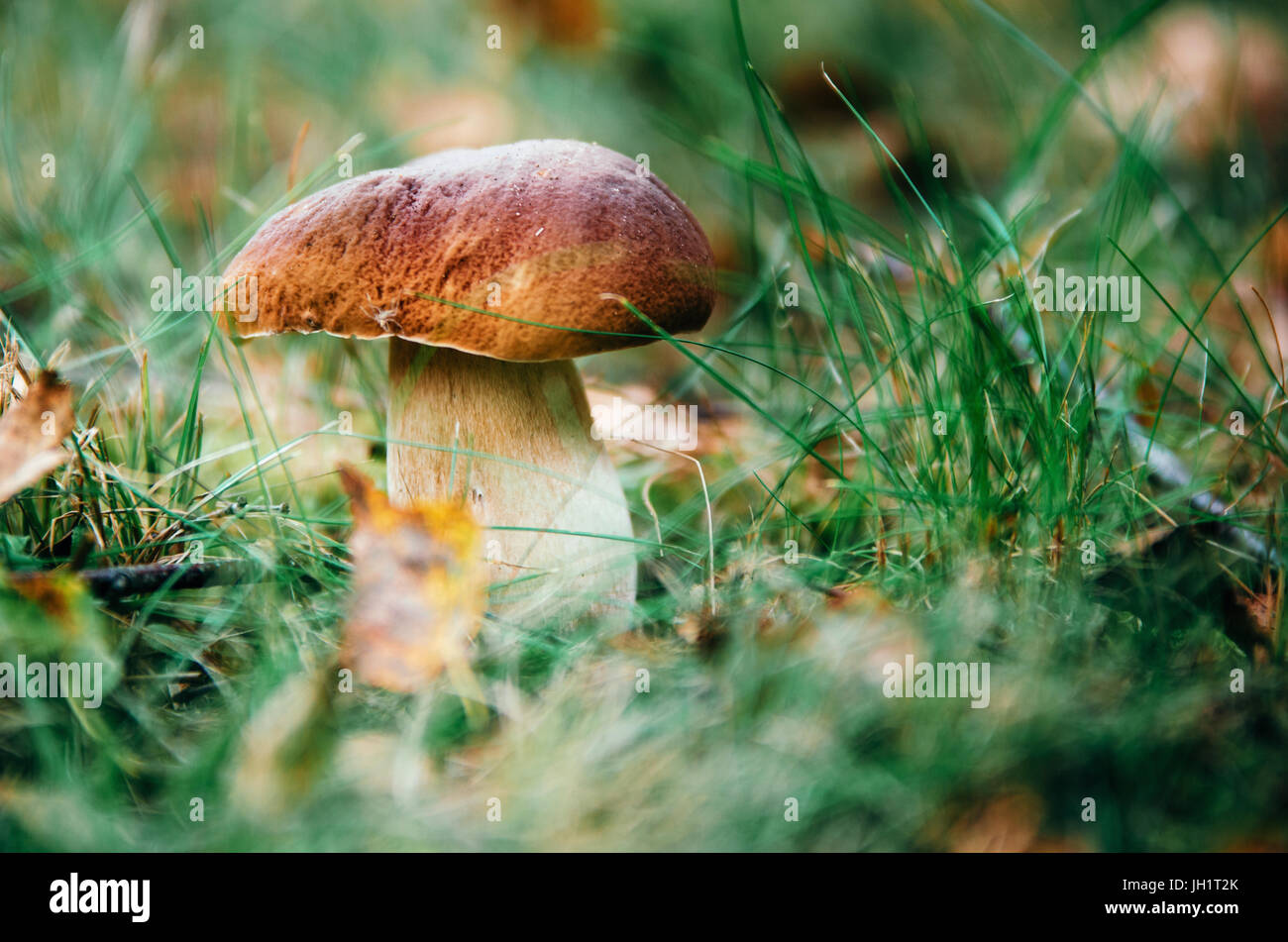 Boletus mushroom porcini growing in a moss and grass close up in forest of Belarus - Stock Image