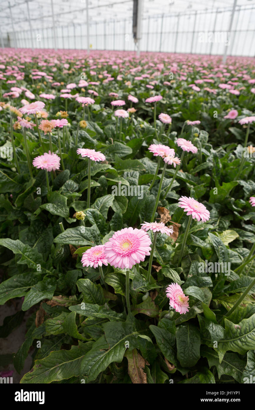 MOERKAPELLE, THE NETHERLANDS, JUNE 5, 2017: Colourful rows of Transvaal Daisy or Gerbera commercially grown in a - Stock Image