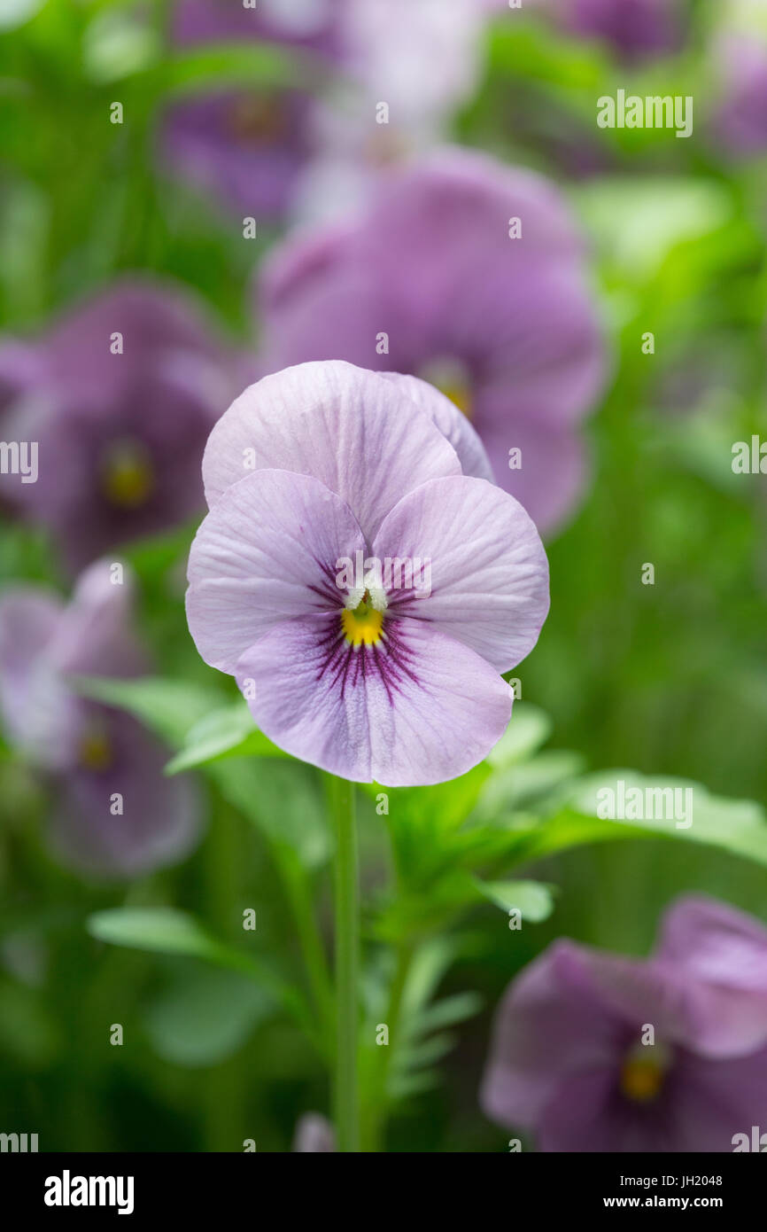 Close up of a lila garden pansy flower. - Stock Image