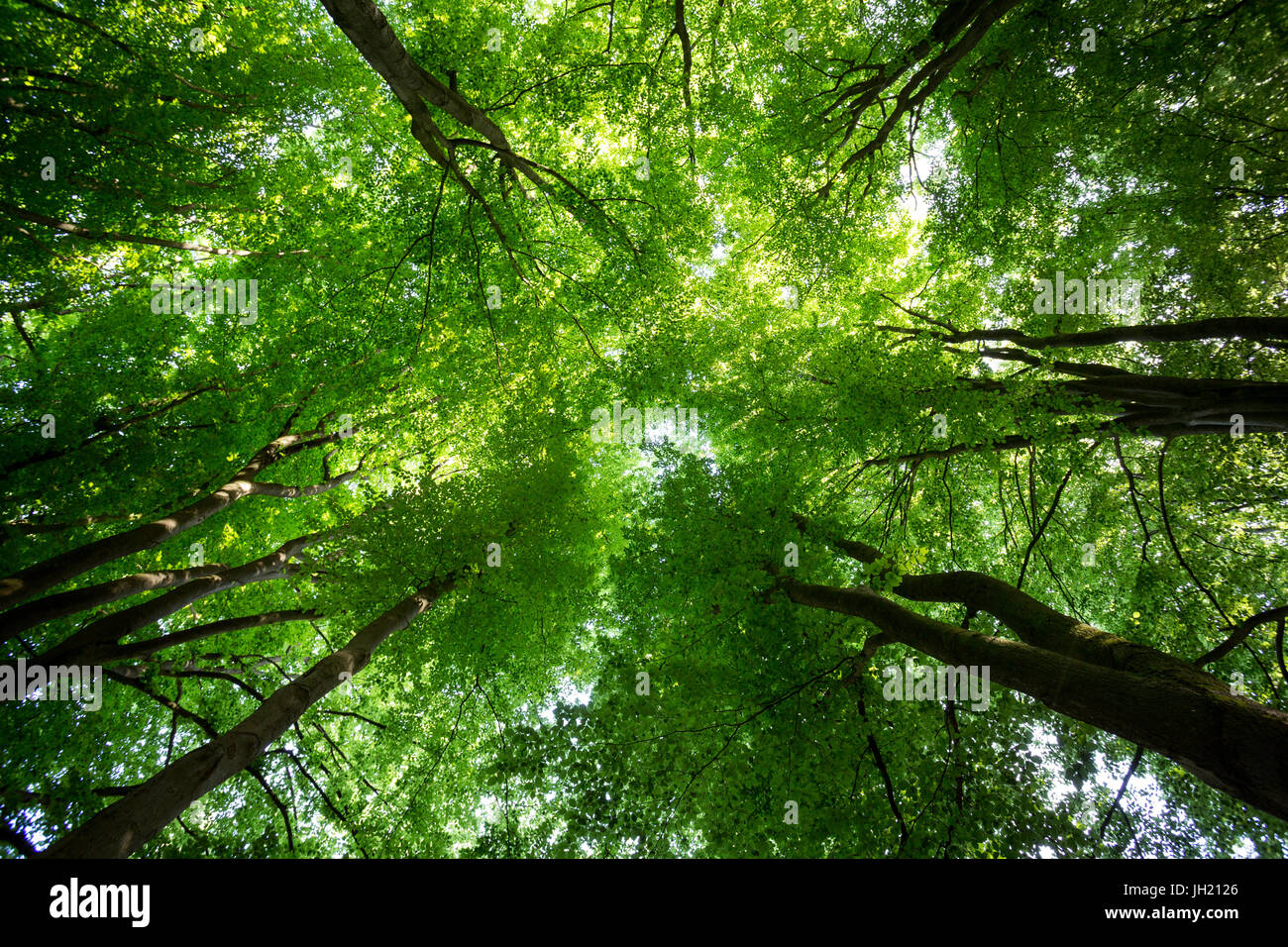 Canopy of a lush green forest seen from below. Stock Photo