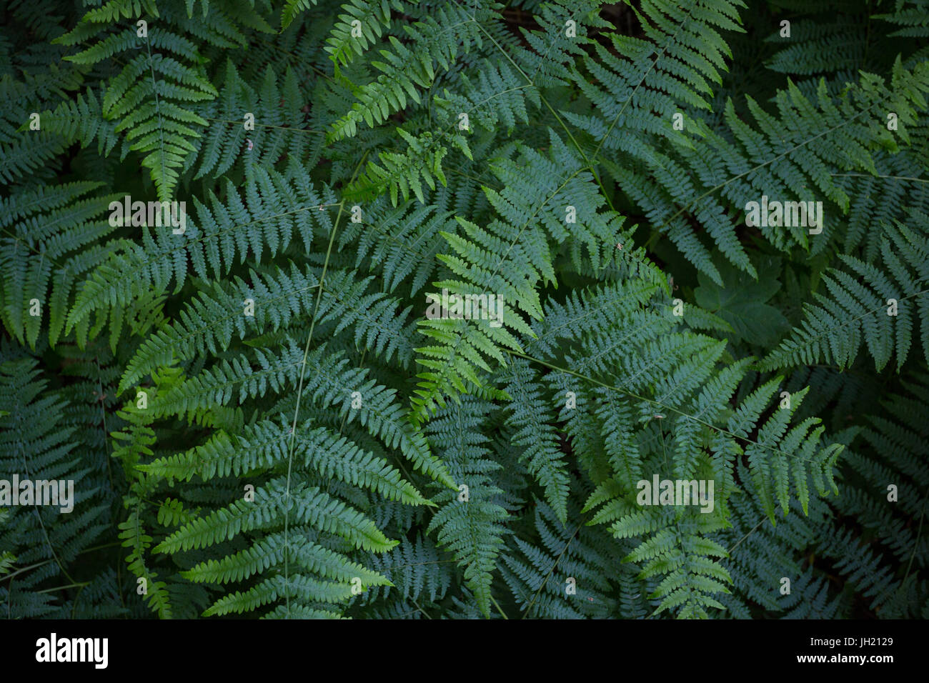 Natural texture or background from the forest floor: Top view of green fern or bracken leaves in late spring - Pteridium - Stock Image