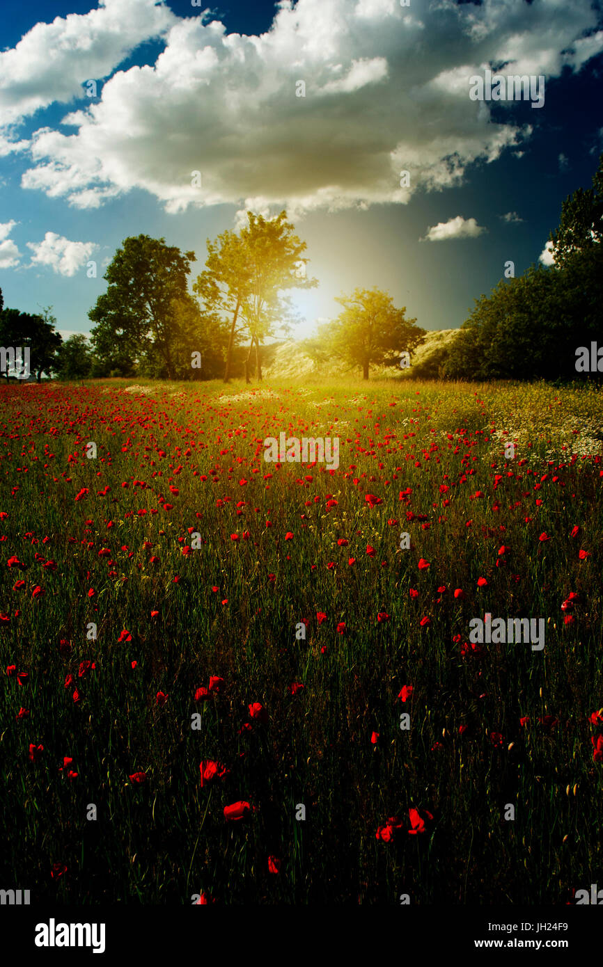 Beautiful landscape and poppy flower field blossom - Stock Image