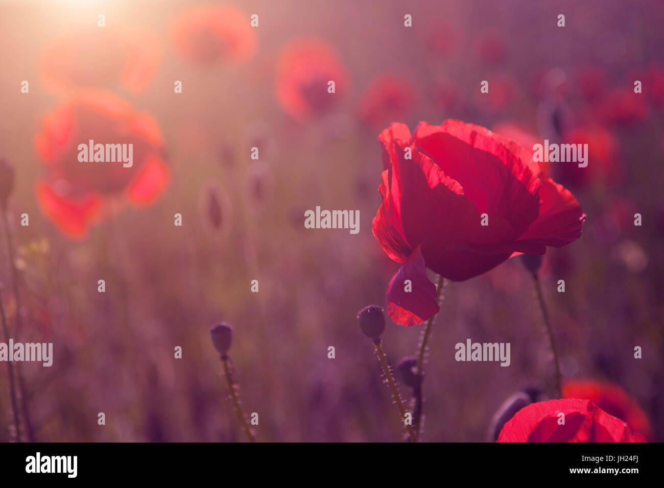 Beautiful poppy flower blossom - Stock Image