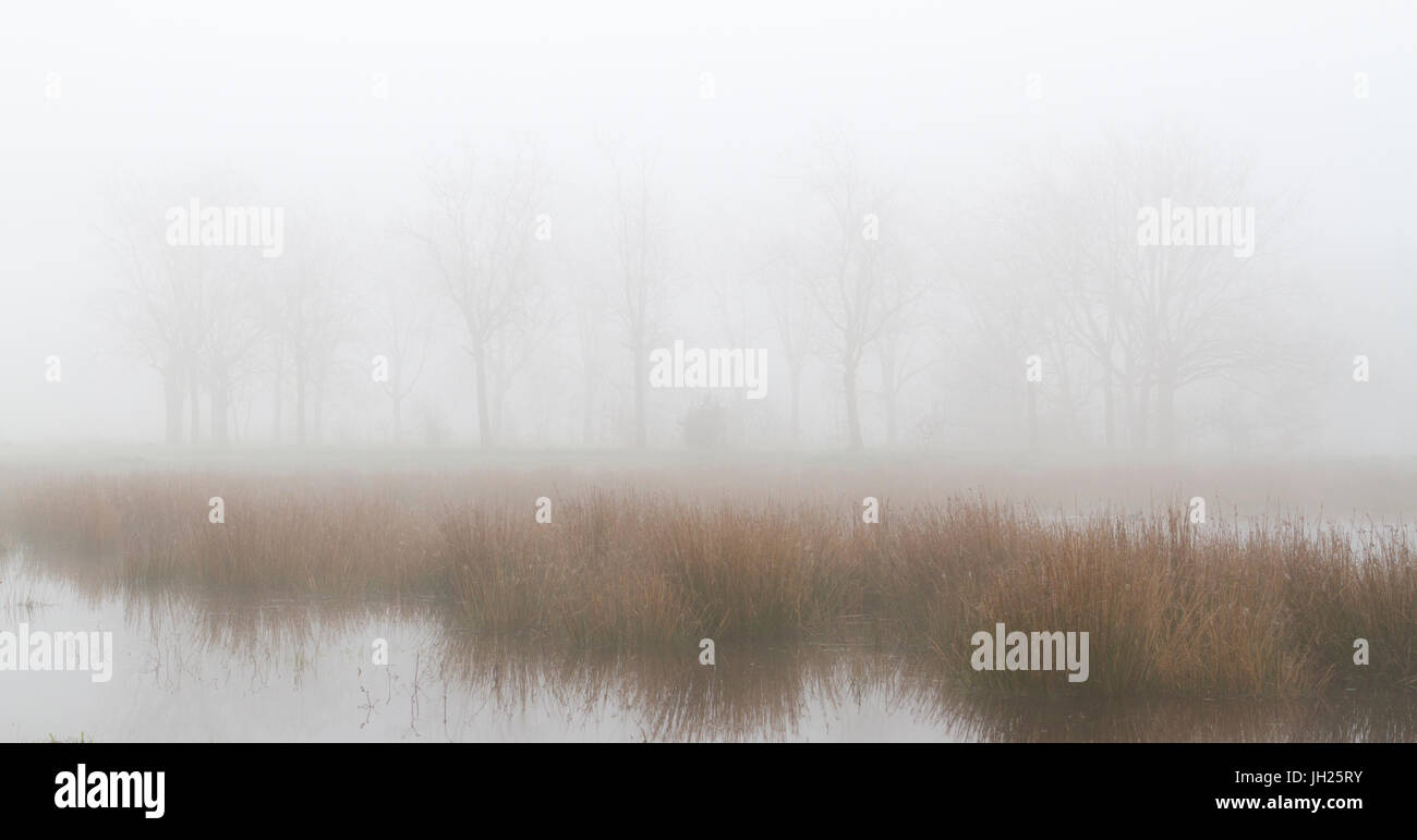 Row of solitary trees, lake and water reeds on a foggy morning concept - Stock Image