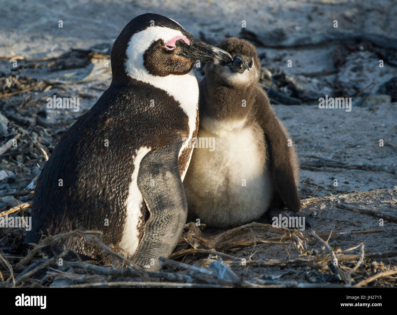 African penguins (jackass penguins) (Spheniscus demersus), Boulders Beach, Cape of Good Hope, South Africa, Africa - Stock Image