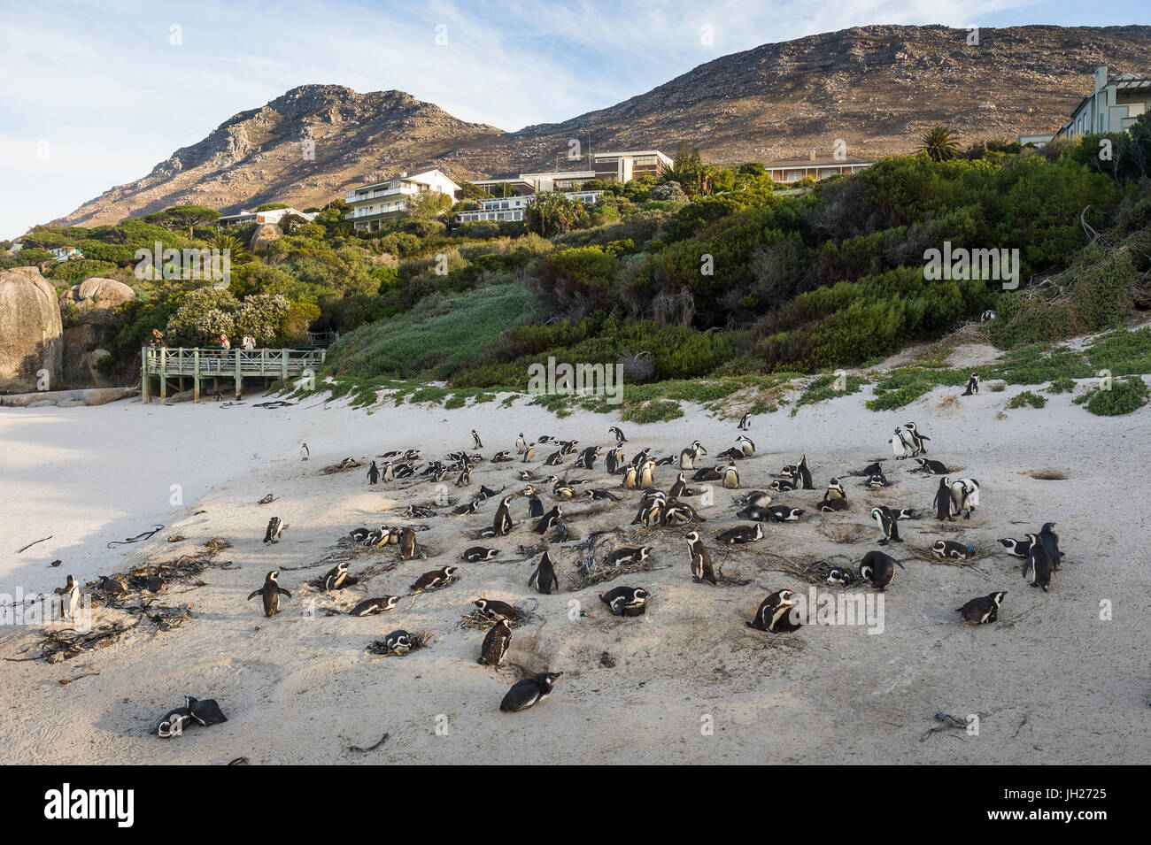 Mother and baby African penguin (jackass penguin) (Spheniscus demersus) colony, Boulders Beach, Cape of Good Hope, - Stock Image