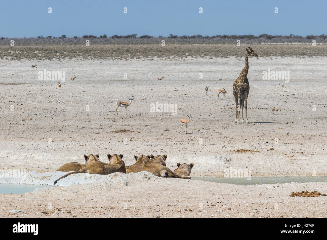 Lions (Panthera leo) at a waterhole in the Etosha National Park, Namibia, Africa - Stock Image