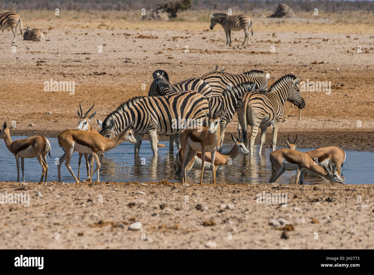 Animals flocking around a waterhole, Etosha National Park, Namibia, Africa - Stock Image