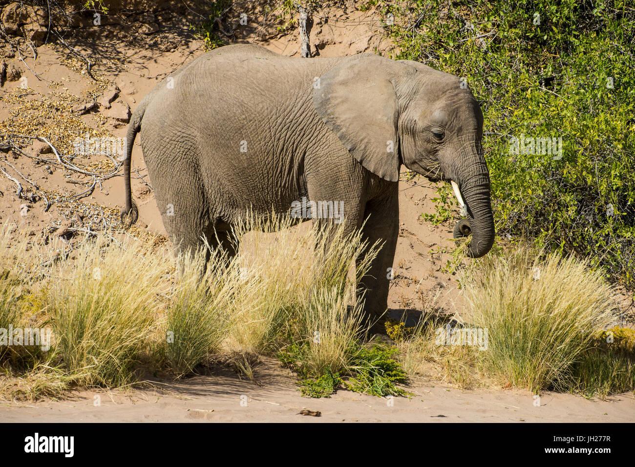 Desert elephant (African bush elephant) (Loxodonta africana), Khurab Reserve, northern Namibia, Africa - Stock Image