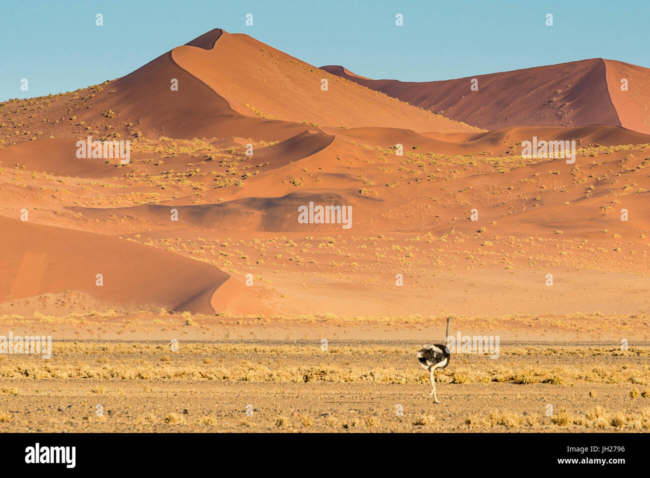 Ostrich wandering in front of a giant sand dune, Sossusvlei, Namib-Naukluft National Park, Namibia, Africa - Stock Image