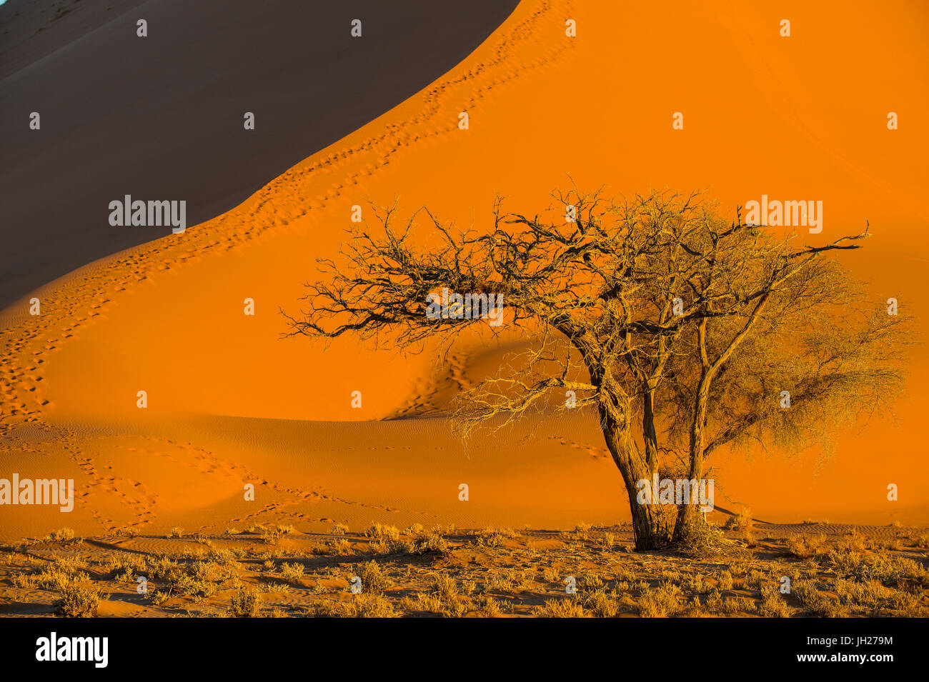 Acacia tree below the giant Sand Dune 45, Sossusvlei, Namib-Naukluft National Park, Namibia, Africa Stock Photo