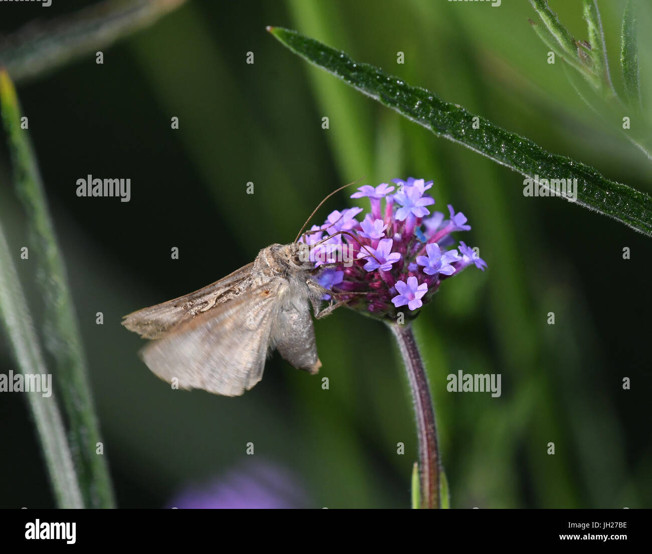 Night butterfly feeding on flowers of Verbena bonariensis - Stock Image