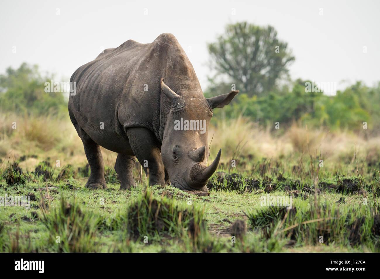 White Rhinoceros (Ceratotherium simum), Uganda, Africa Stock Photo
