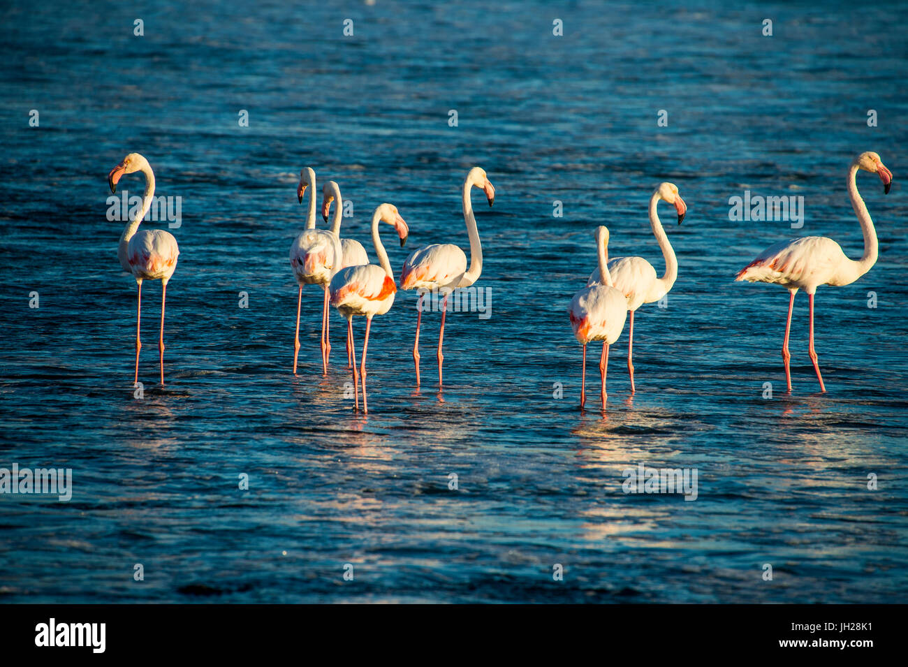 Flamingos in the water (Phoenicopteridae), Luderitz, Namibia, Africa - Stock Image