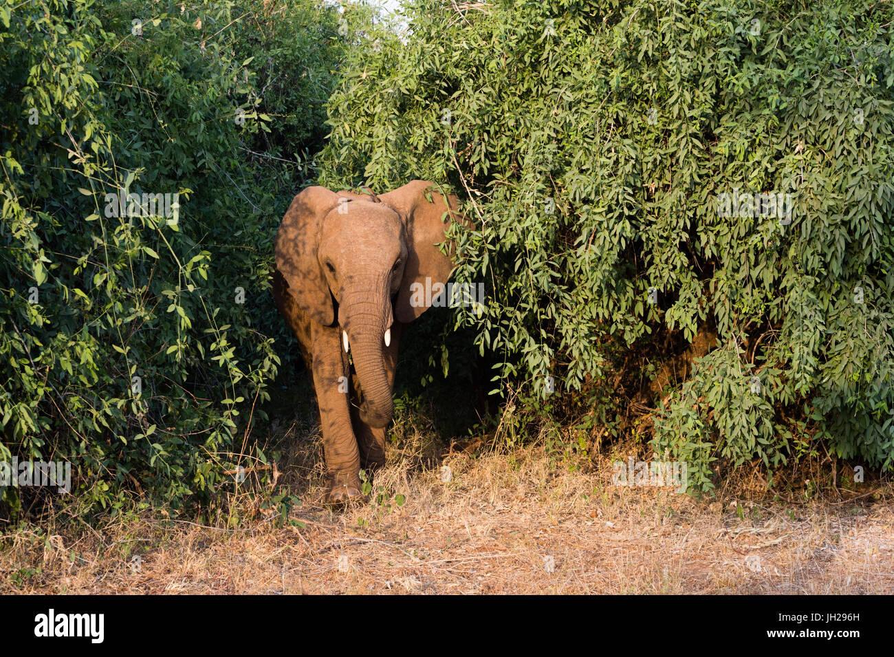 An African elephant (Loxodonta Africana), emerges from the bush, Samburu, Kenya, East Africa, Africa - Stock Image