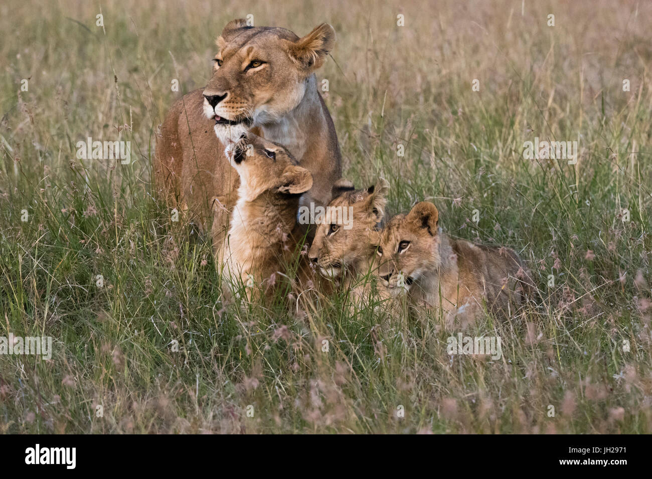 A lioness (Panthera leo) greeted by her cubs upon her return, Masai Mara, Kenya, East Africa, Africa - Stock Image