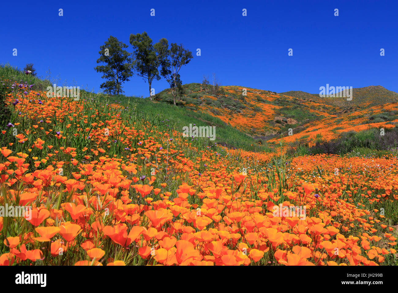 Poppies, Walker Canyon, Lake Elsinore, California, United States of America, North America - Stock Image