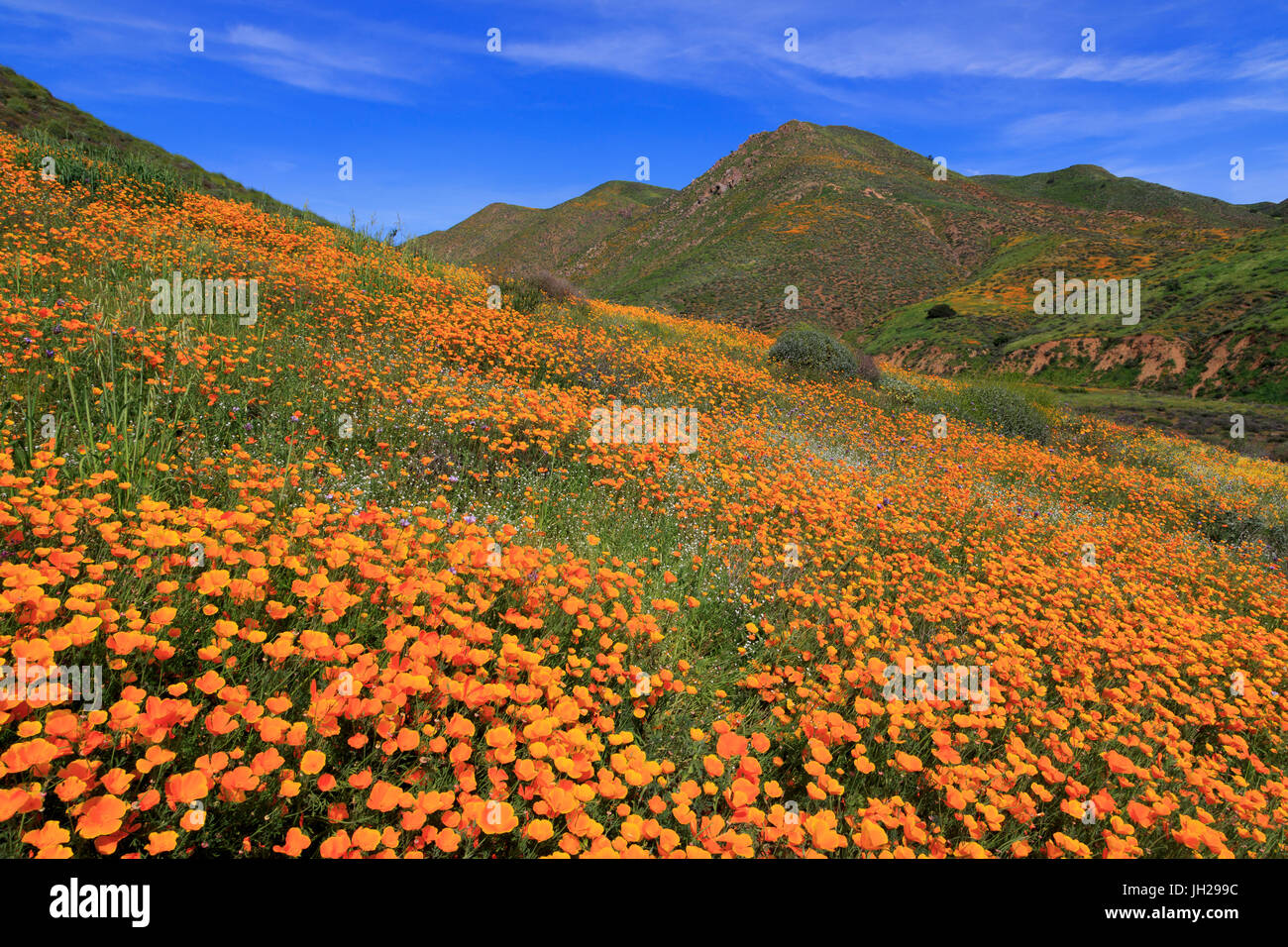 Poppies, Walker Canyon, Lake Elsinore, Riverside County, California, United States of America, North America - Stock Image