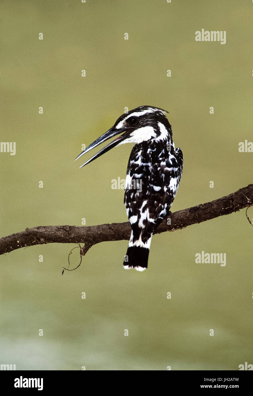 Pied Kingfisher or Water Kingfisher (Ceryle rudis), Keoladeo Ghana National Park, Bharatpur, Rajsthan, India - Stock Image