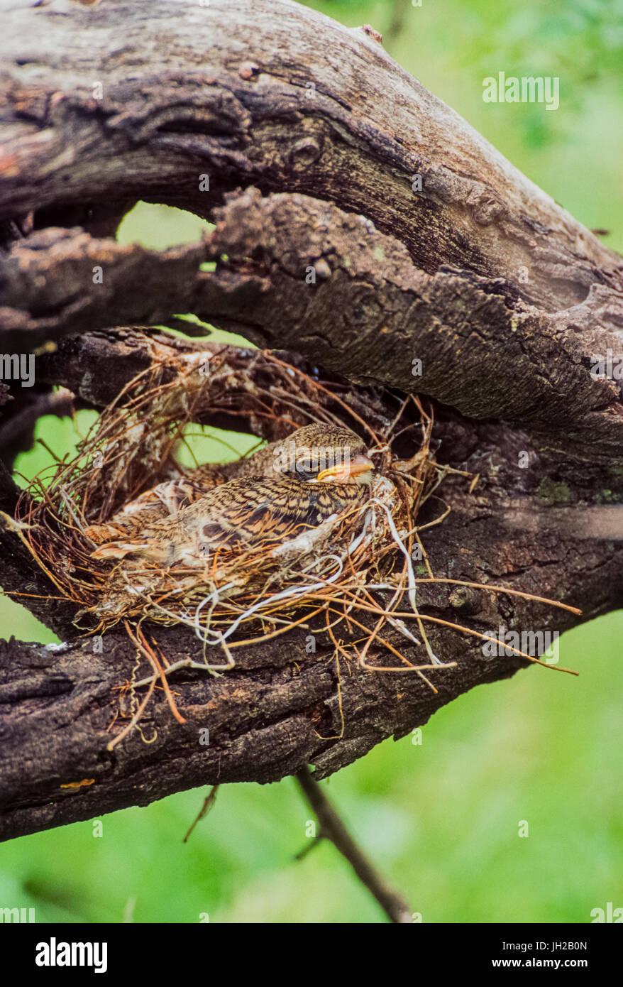 Bay-backed shrike, ((Lanius vittatus), fledgling in nest, Keoladeo Ghana National Park, Bharatpur, Rajasthan, India - Stock Image