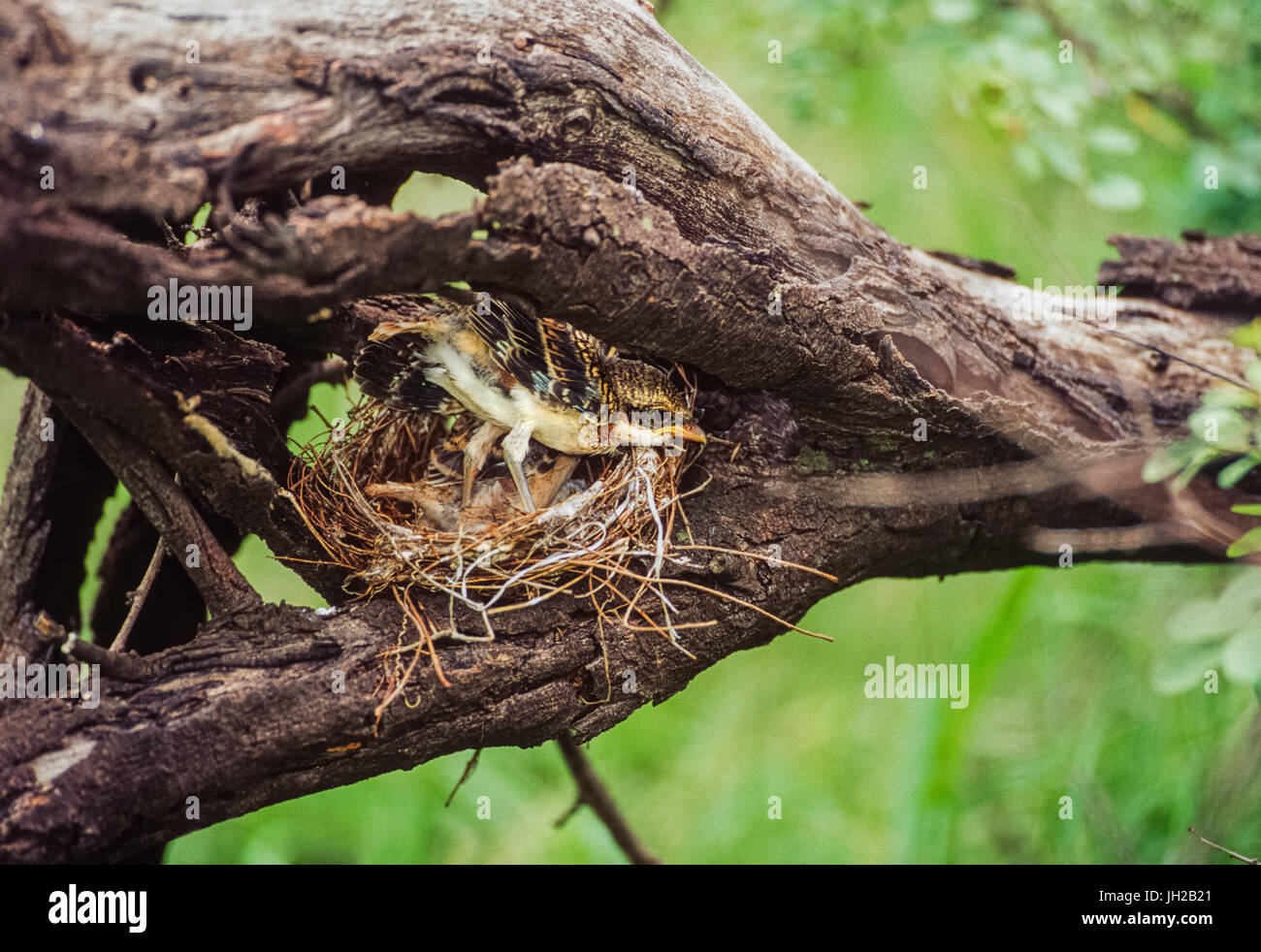 Bay-backed shrike, ((Lanius vittatus), fledgling in nest, Keoladeo Ghana National Park, Bharatpur, Rajasthan, India Stock Photo