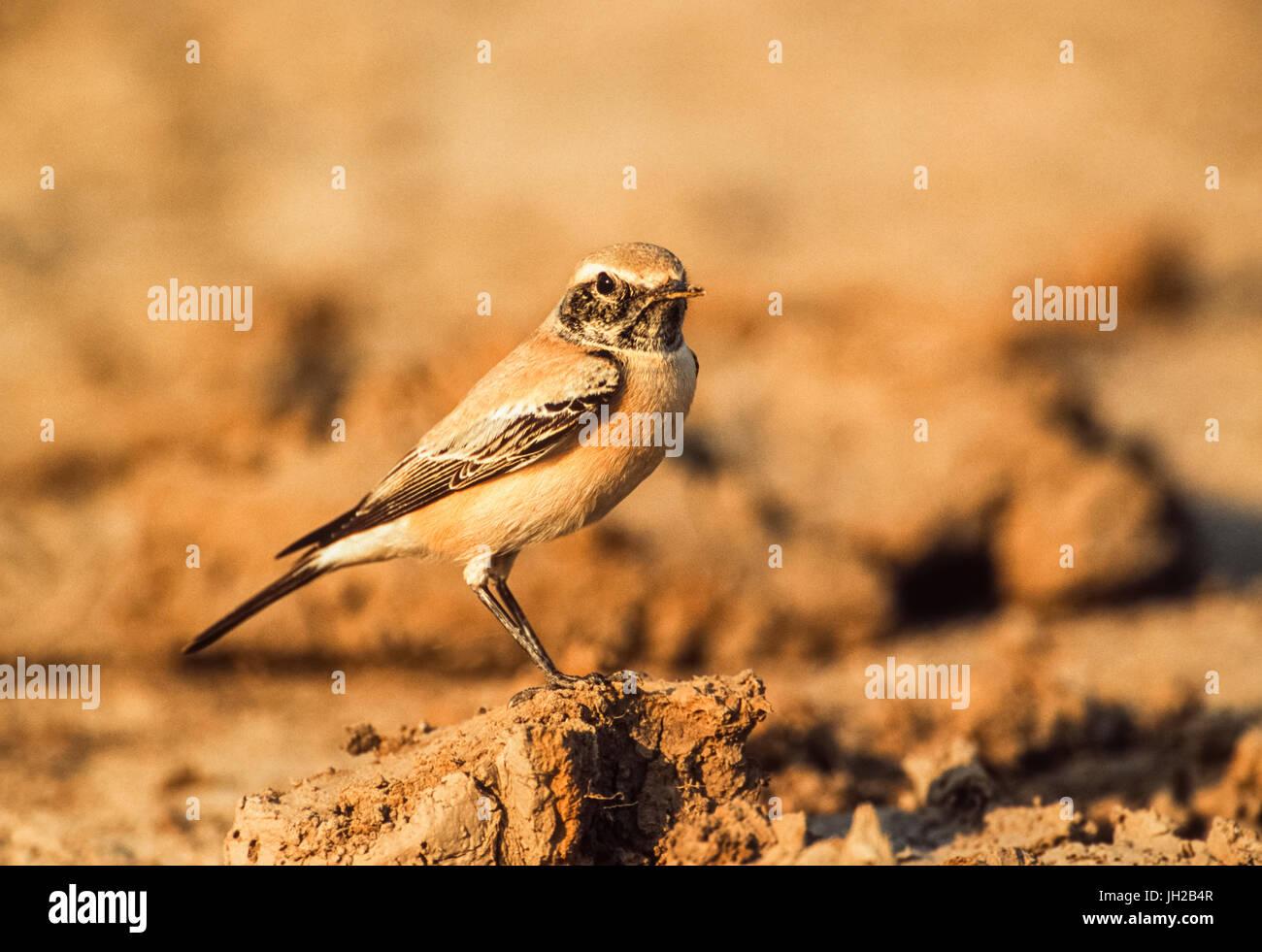 Desert Wheatear, (Oenanthe deserti),  ,Keoladeo Ghana National Park, Bharatpur, Rajasthan, India - Stock Image