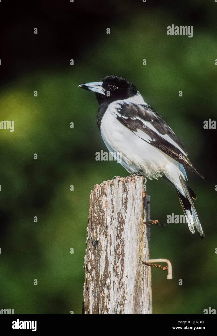 adult Pied Butcherbird, (Cracticus nigrogularis), perched on wooden post, Byron Bay, New South Wales, Australia - Stock Image