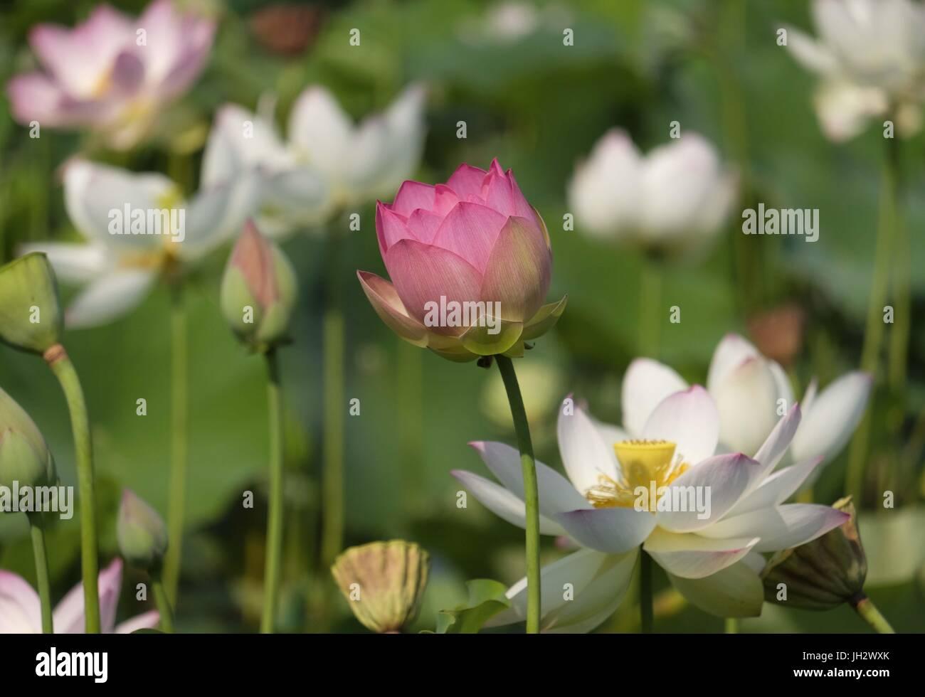 Los Angeles California Usa 12th July 2017 Lotus Flowers Blossom