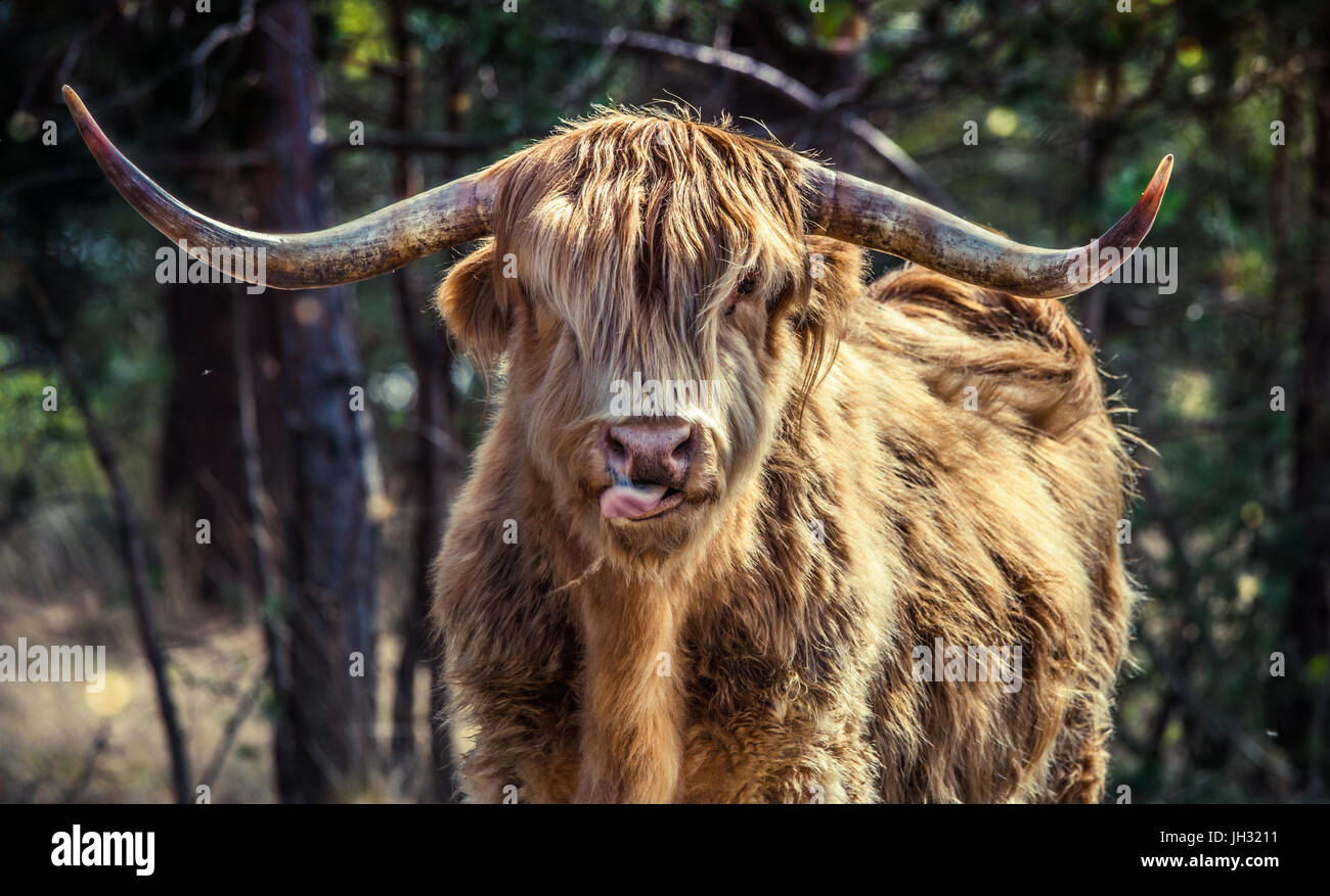 Male Highland cow standing staring straight at the camera. a golden brown Highland Cow licking his nose, his horns - Stock Image