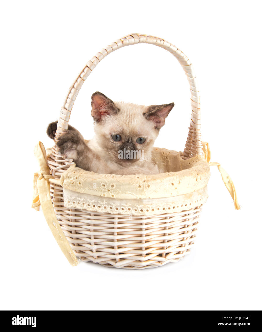 Sweet tortie point Siamee kitten in an off white basket, on white background - Stock Image