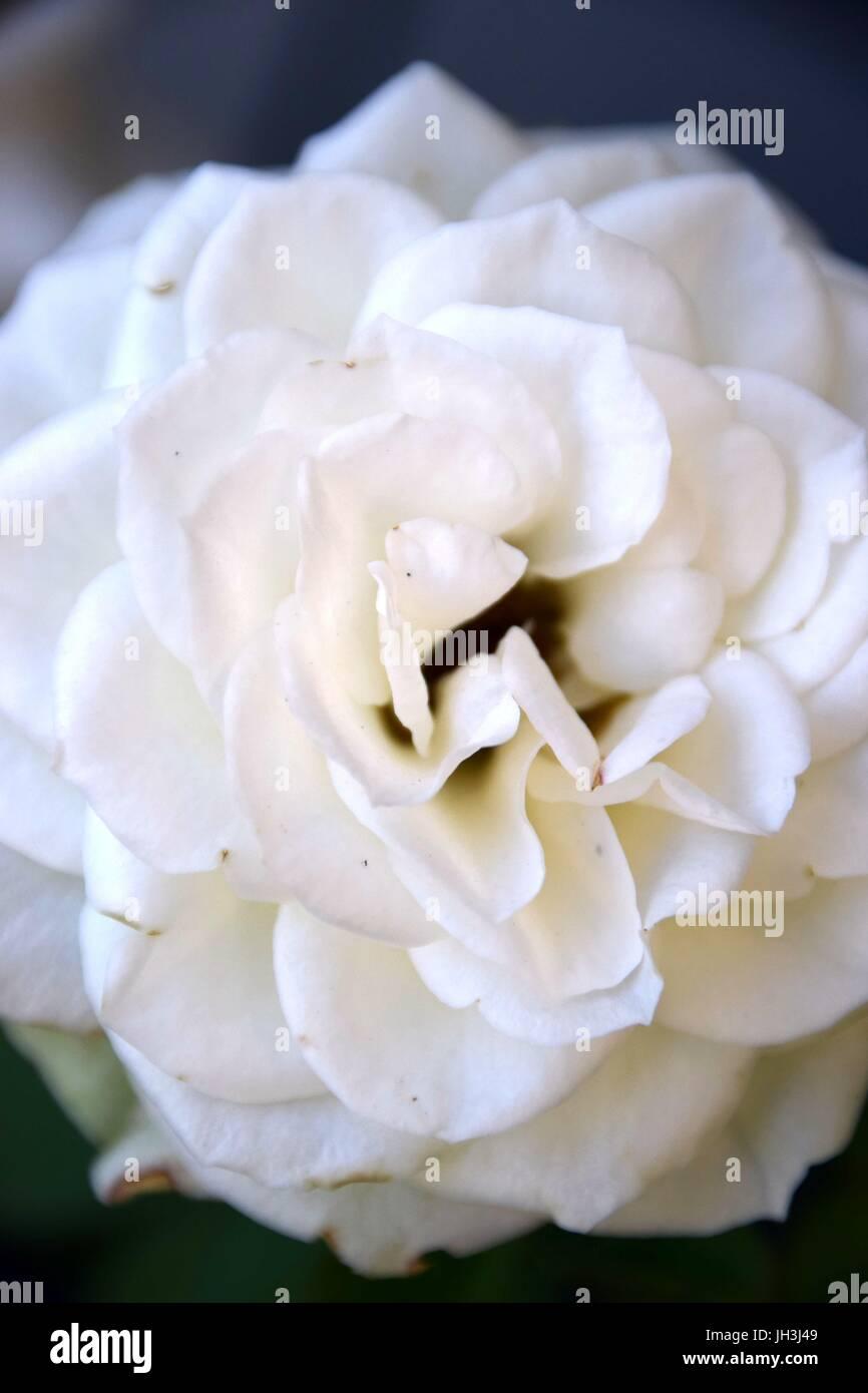 10 x Rose Edelrose rosa  Kunstblumen Seidenblumen