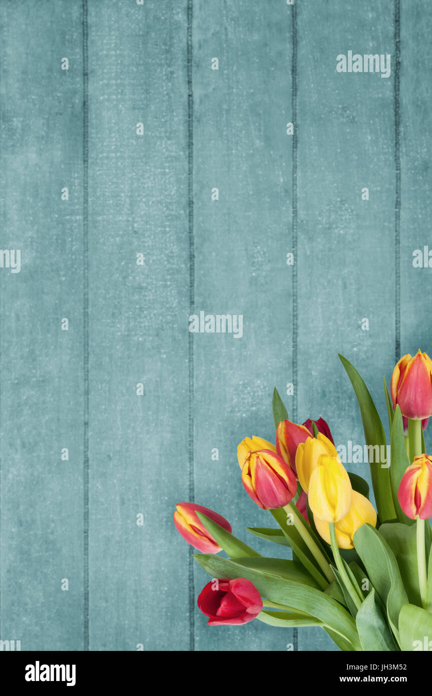 A Spring bouquet of pink and yellow tulips, in the lower right corner of a turquoise blue wood plank background. - Stock Image