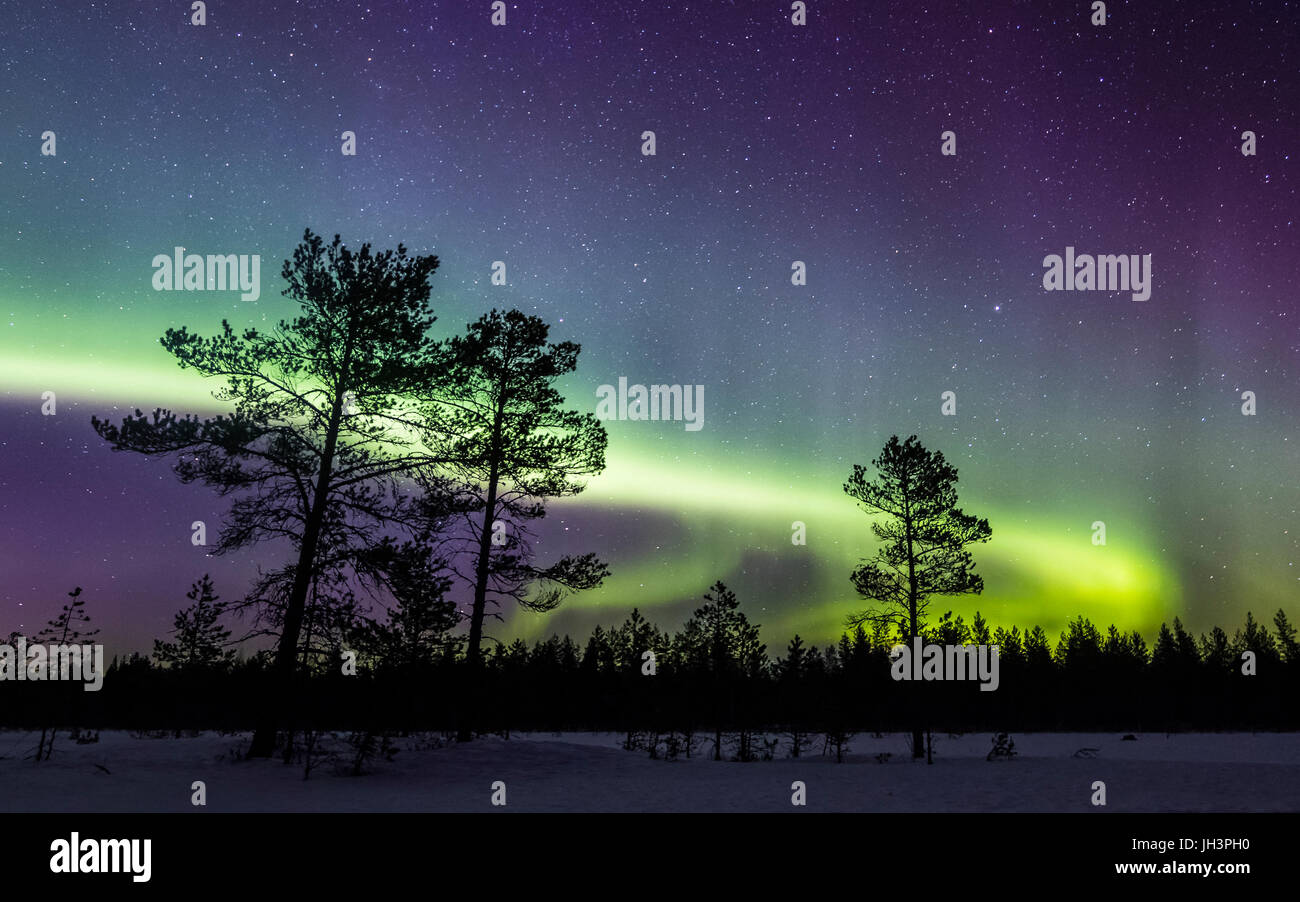 Aurora over scots pines - Stock Image
