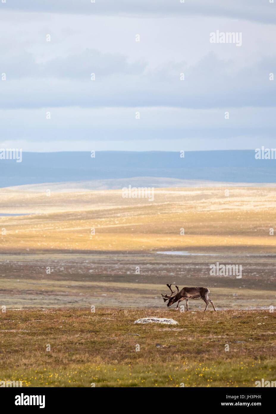 Reindeer grazing in Lapland - Stock Image